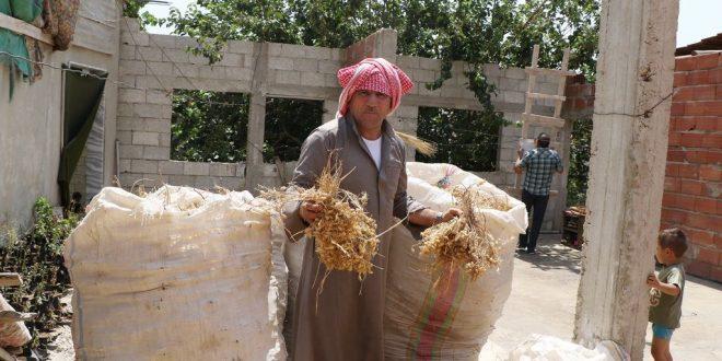 الهلال الأحمر السوري: حصاد ذهب الموسم